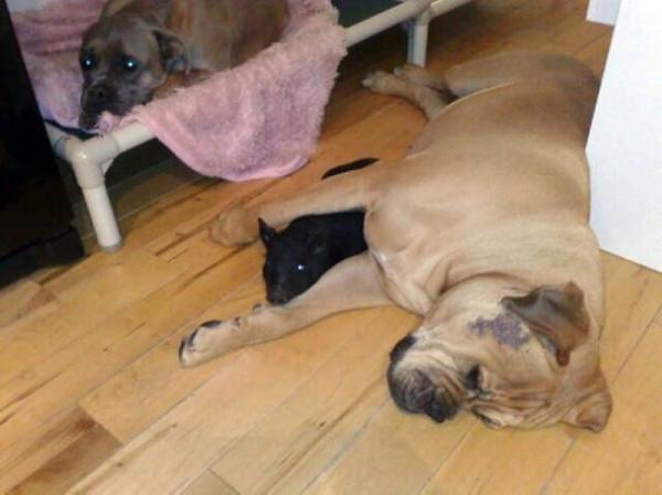 她在宠物店带回来两只黑色的可爱迷你猪,谁晓得过了半年后它们竟然比