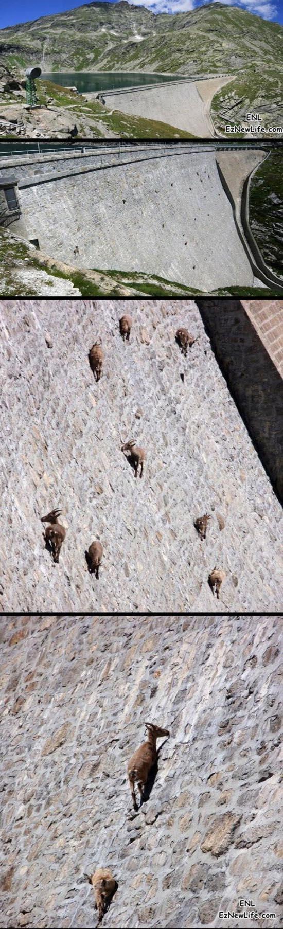 山羊吃草的技術,令人嘆為觀止。-0