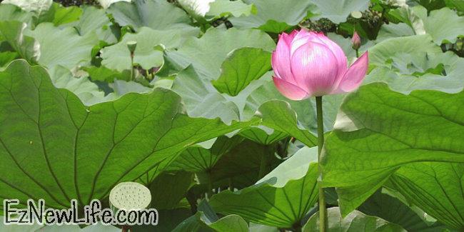 莲花和荷花有什麼不同?